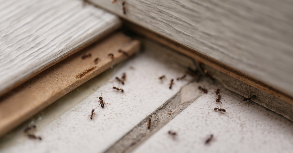 Many black ants on floor at home-img (1)